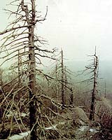 File photo of a forest affected by acid rain