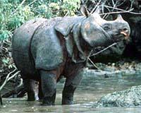 http://www.terradaily.com/images/java-rhinoceros-ujung-kulon-bg.jpg