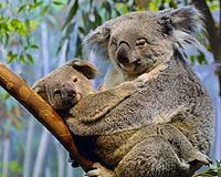 Thousands of Australia's koalas killed by land-clearing: WWF