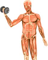 new light on muscle efficiency, Muscles