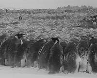 penguins huddled in storm blizzard